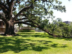 Mobile live oak tree